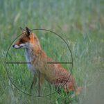 lisek - bezkrwawe polowanie