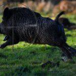 bezkrwawe polowanie dzik